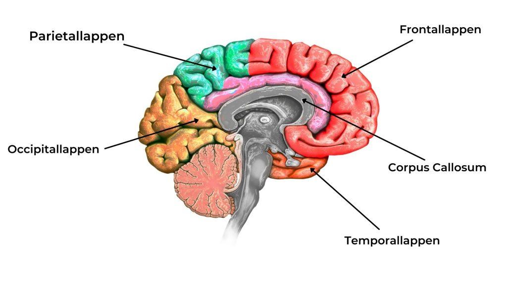 Gehirnloben, verschiedene Gehirnlappen, Corpus Callosum, Dreiteiliges Gehirn