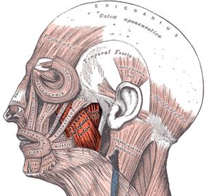 Musculus masseter Mimikmuskeln