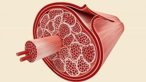 Muskelfasern mit Faszien